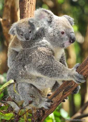 mother-koala-gives-baby-a-piggy-back_800_watermark-text