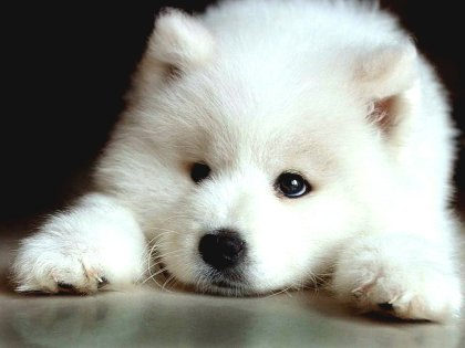 sad-samoyed-puppy-photo